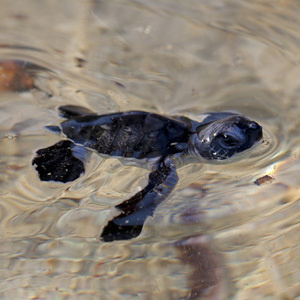 Cute baby sea turtles in the water - photo#8