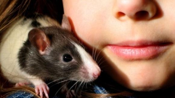 Would You Buy Your Grandkids A Pet Rat Grandparents Com